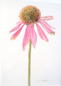 B&B Coneflower